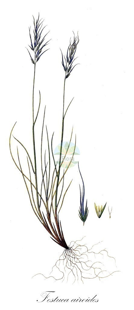 Historical drawing of Festuca airoides (Small Fescue) | Historical drawing of Festuca airoides (Small Fescue) showing leaf, flower, fruit, seed