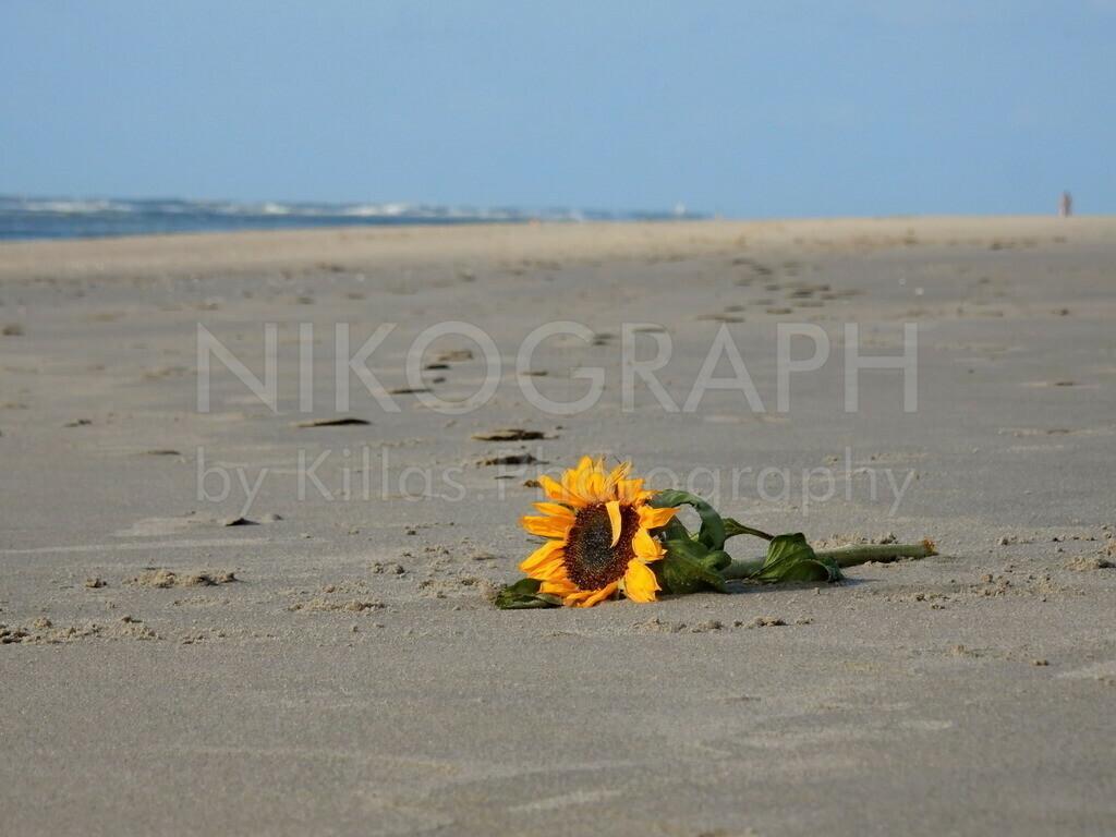 Sonnenblume am Strand | Eine Sonnenblume un deine Tulpe am Strand von Texel bei De Cocksdorp.
