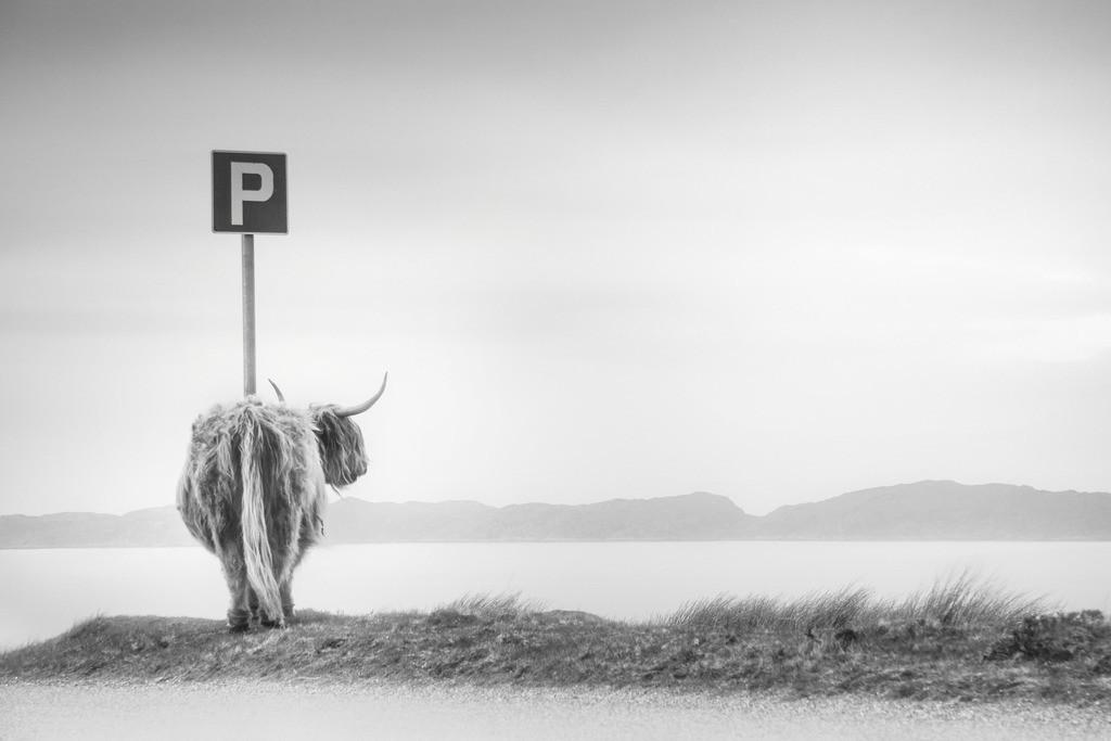 highland visitor   Hochlandkuh blickt auf Loch Torridon in den schottischen Highlands.