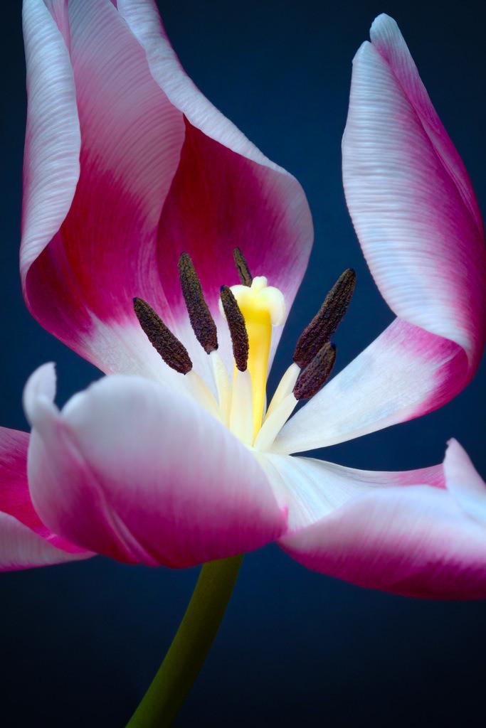 Violette Tulpenblüte (Tulipa)   Violette Tulpe. Blütendetail (Tulipa).