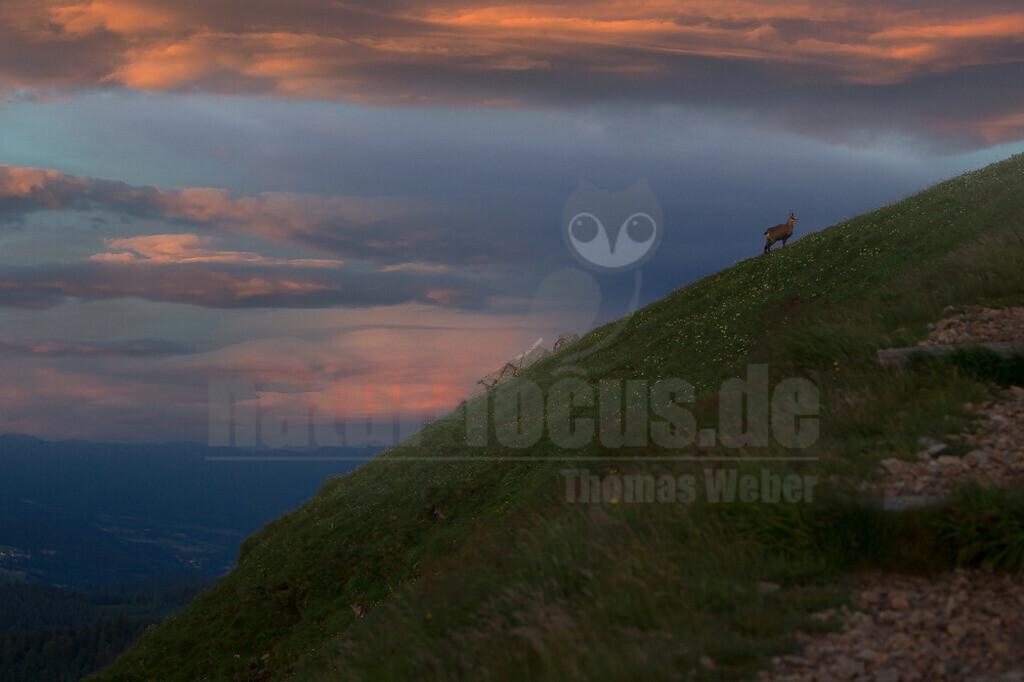 20130704214047 | Bei der Gämse handelt es sich um eine weitgehend auf Europa beschränkte Art, was in der Tierwelt eine nennenswerte Besonderheit darstellt. Sie besiedelt den ganzen Alpenraum und Teile des Balkans.[3] Das größte Revier befindet sich im Hochschwabgebiet in der Steiermark.