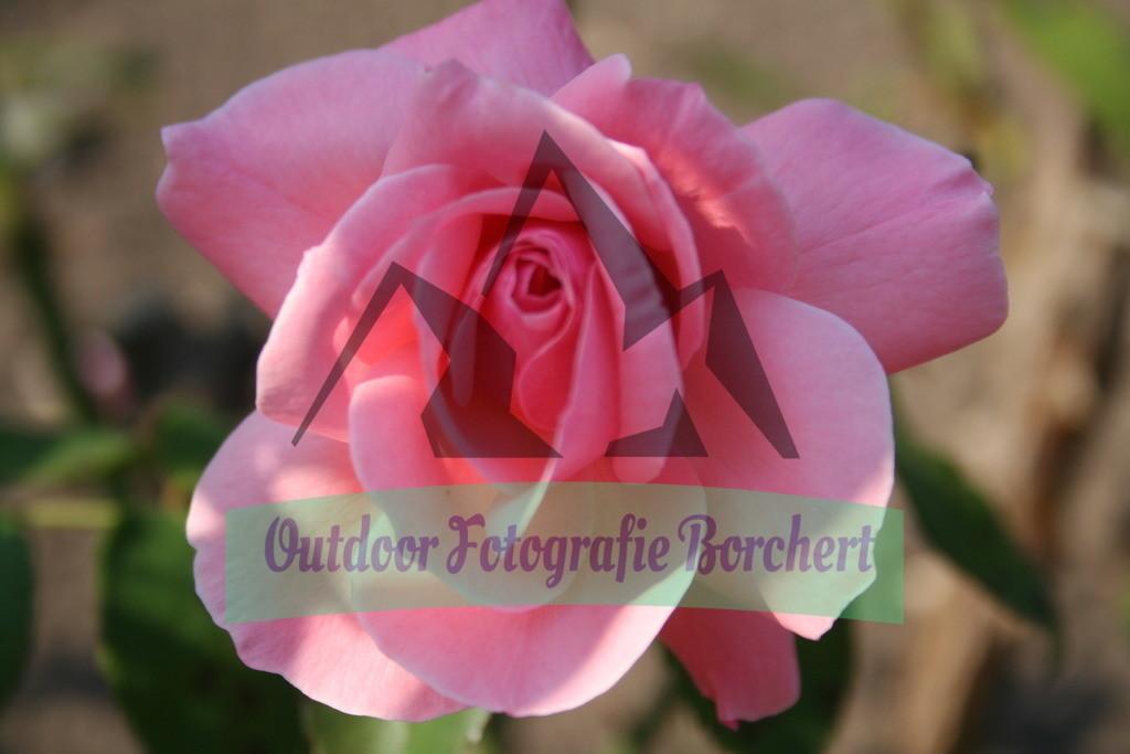 IMG_4389 | Rosa Rose