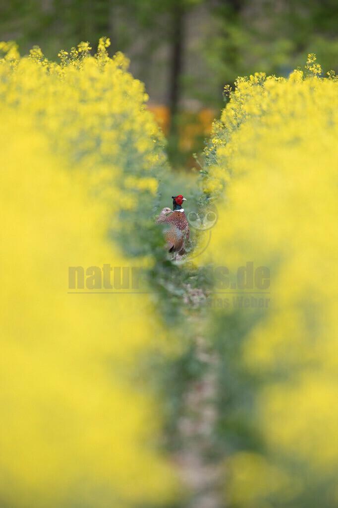 20200612-663A0003 (11)   Der Fasan ist eine Vogelart aus der Ordnung der Hühnervögel. Wie bei anderen Fasanenartigen fällt der Hahn durch sein farbenprächtiges Gefieder und seine deutlich längeren Schwanzfedern auf. Hennen zeigen eine bräunliche Tarnfärbung.