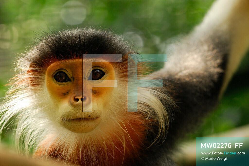 MW02276-FF | Vietnam | Provinz Ninh Binh | Reportage: Endangered Primate Rescue Center | Porträt eines Rotgeschenkligen Kleideraffen. Der Deutsche Tilo Nadler leitet das Rettungszentrum für gefährdete Primaten im Cuc-Phuong-Nationalpark.   ** Feindaten bitte anfragen bei Mario Weigt Photography, info@asia-stories.com **