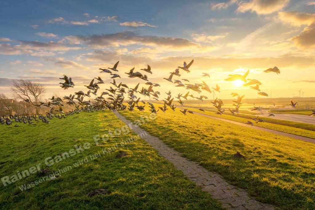 180205-12-Harlesiel Wildgänse im Sonnenuntergang