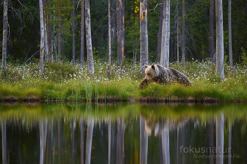 Braunbär im Moor | Ein Braunbär streift um einen finnischen Moorsee.