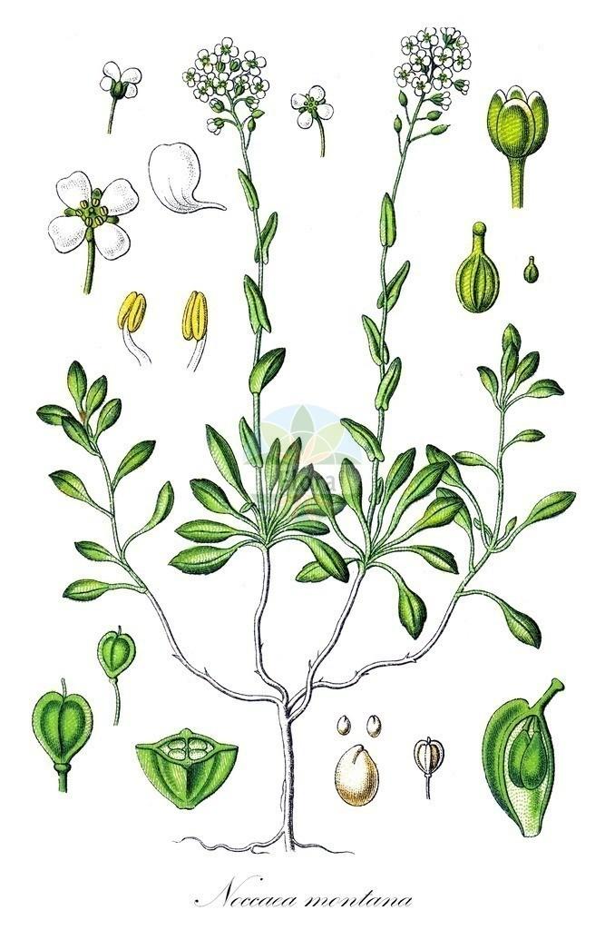 Historical drawing of Noccaea montana (Alpine Penny-cress) | Historical drawing of Noccaea montana (Alpine Penny-cress) showing leaf, flower, fruit, seed