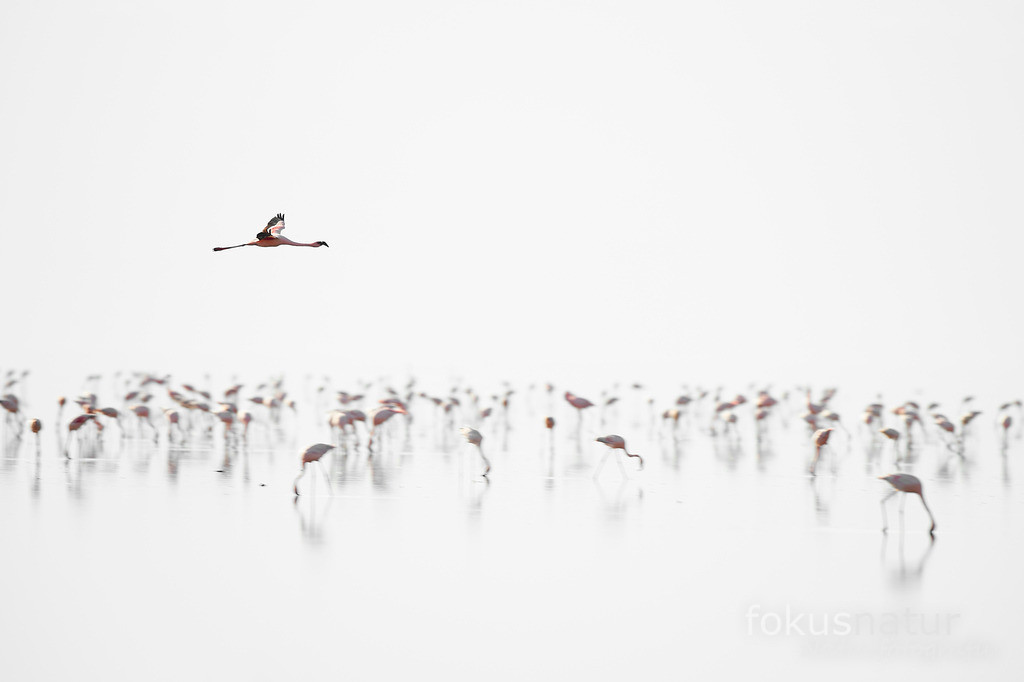Flamingos | Zwergflamingos am Lake Natron.