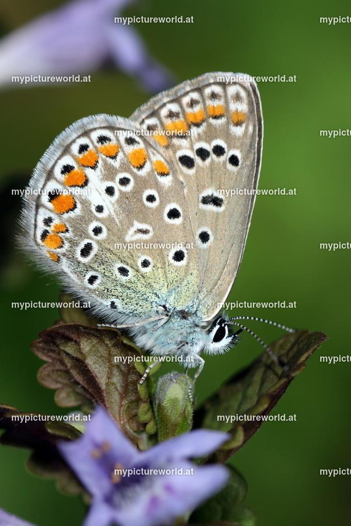 Polyommatus icarus-017