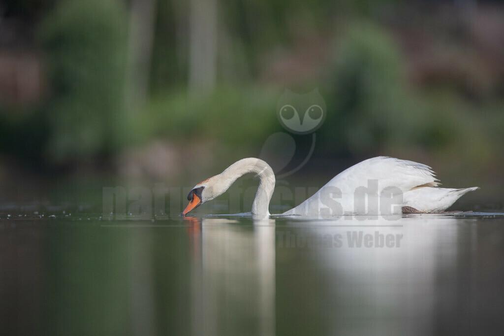 20190610093326 | Der Höckerschwan ist eine Vogelart, die innerhalb der Entenvögel zur Gattung der Schwäne und zur Unterfamilie der Gänse gehört. Als halbdomestizierter Vogel ist er heute in weiten Bereichen Mitteleuropas beheimatet. Er hält sich bevorzugt auf Seen, Park- und Fischteichen, in seichten Meeresbuchten und im Winter auch auf offenen Flussläufen.