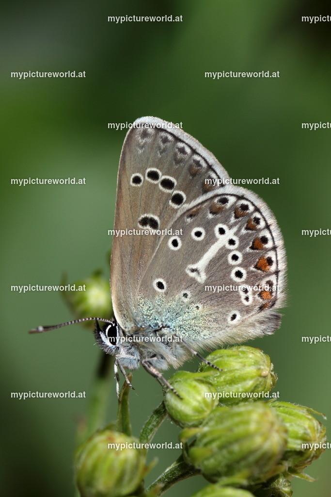 Aricia eumedon-001