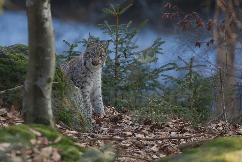 20080214_15595714784 | Die Luchse sind eine Gattung in der Familie der Katzen. Alle vier heute lebenden Arten kommen auf der Nordhalbkugel vor: Der Eurasische Luchs ist in weiten Teilen Europas und Asiens verbreitet.
