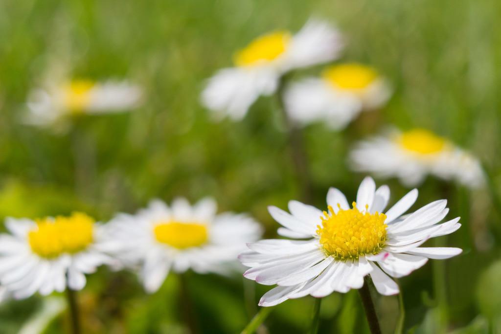 Gänseblümchen | Blumenmotiv