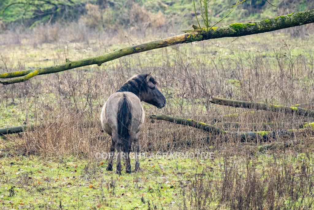 20210110-DSCF5576 | Konik Wildpferde werden in Naturschutzgebiet Emsaue zur Landschaftspflege eingesetzt