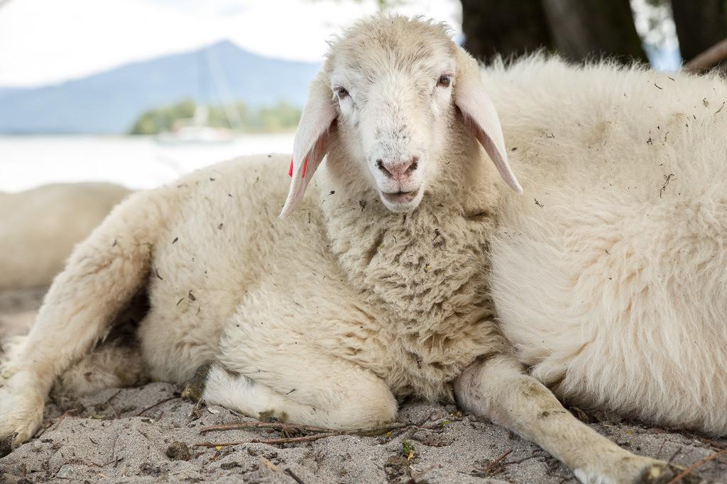 Schäfchen auf der Krautinsel   Schafnahaufnahme auf der Krautinsel im Chiemsee.