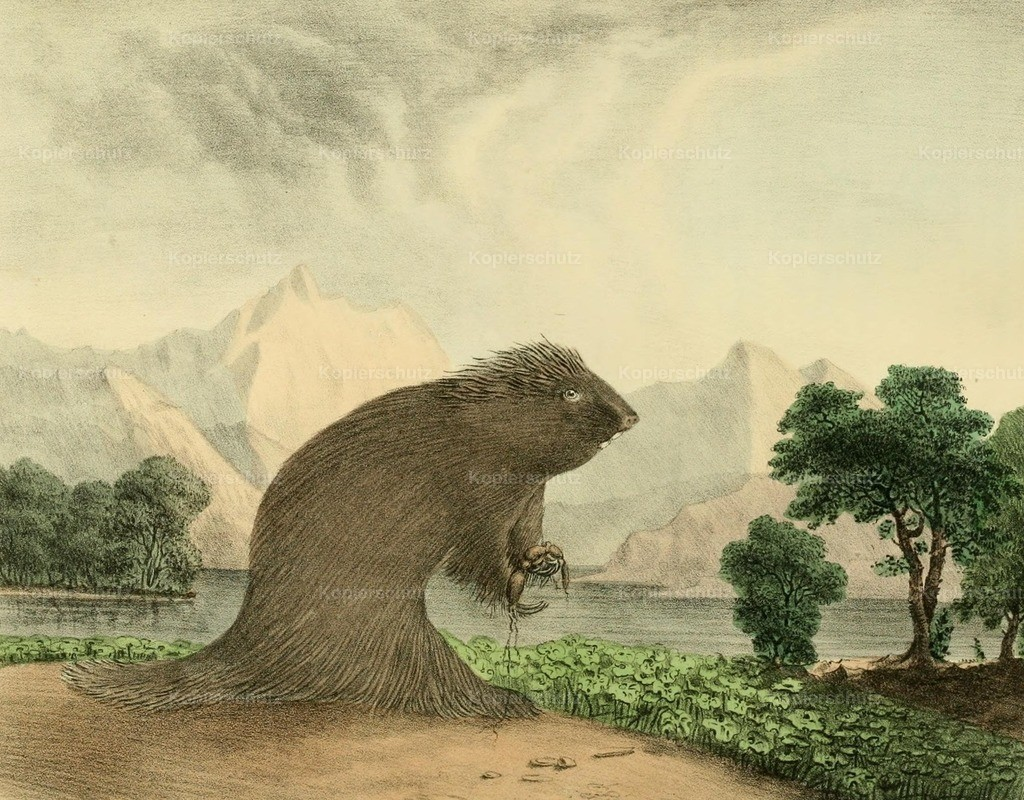 Doughty_ T. (1793-1856) - Cabinet of Natural History 1830 - American Porcupine