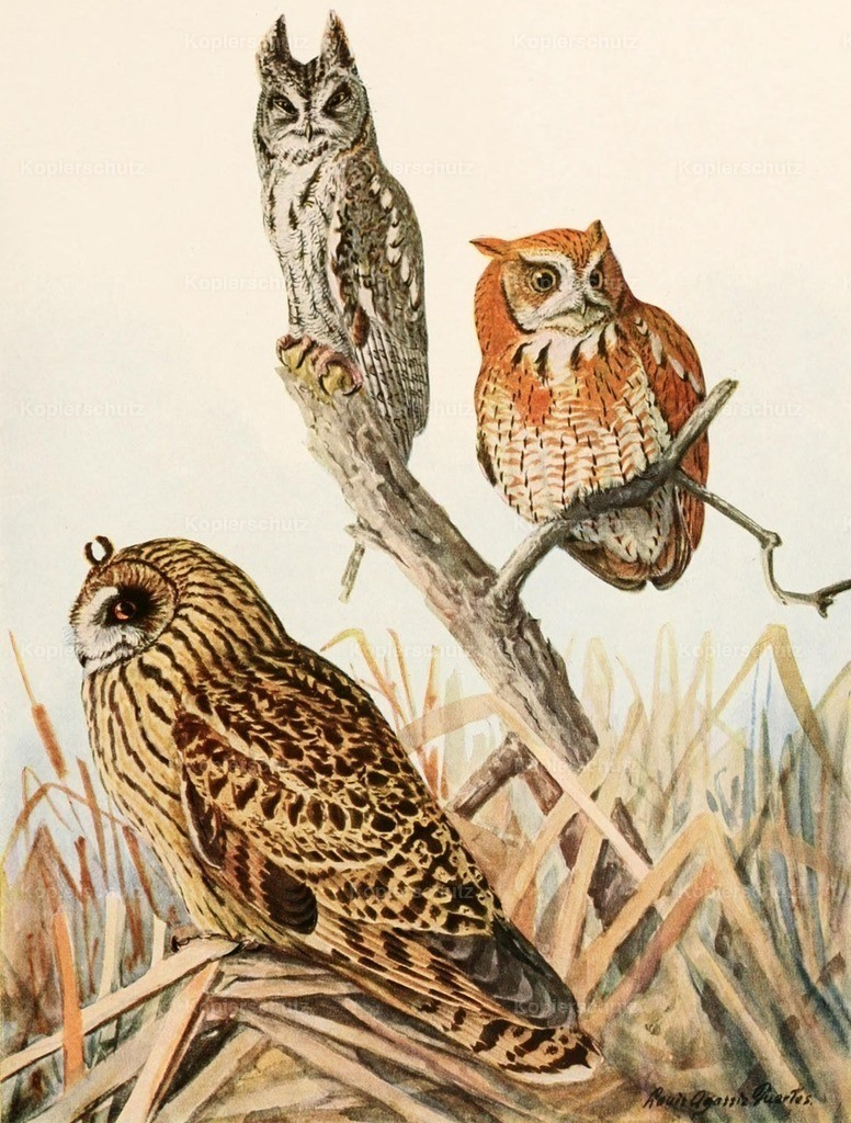 Fuertes_ L.A. (1874-1927) - Birds of America 1923 - Screech _ Short-eared Owls