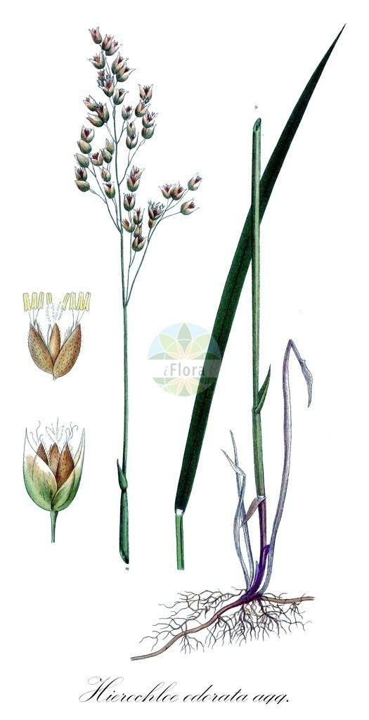 Historical drawing of Hierochloe odorata agg. (Holy-grass)   Historical drawing of Hierochloe odorata agg. (Holy-grass) showing leaf, flower, fruit, seed
