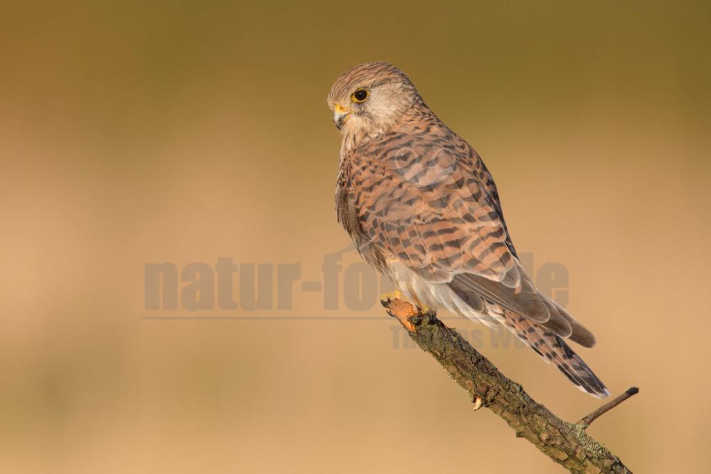 20180902-663A9960 Kopie | Der Turmfalke (Falco tinnunculus) ist der häufigste Falke in Mitteleuropa. Vielen ist der Turmfalke vertraut, da er sich auch Städte als Lebensraum erobert hat und oft beim Rüttelflug zu beobachten ist.