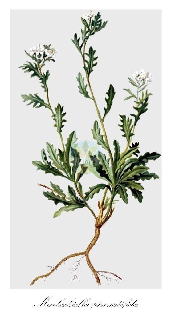 Historical drawing of Murbeckiella pinnatifida | Historical drawing of Murbeckiella pinnatifida showing leaf, flower, fruit, seed