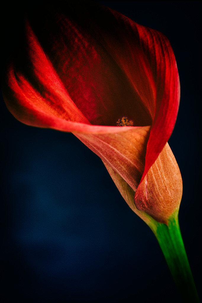 Rotes Kelchblatt - Zantedeschia | Calyx - rotes Kelchblatt einer Blume (Zantedeschia).