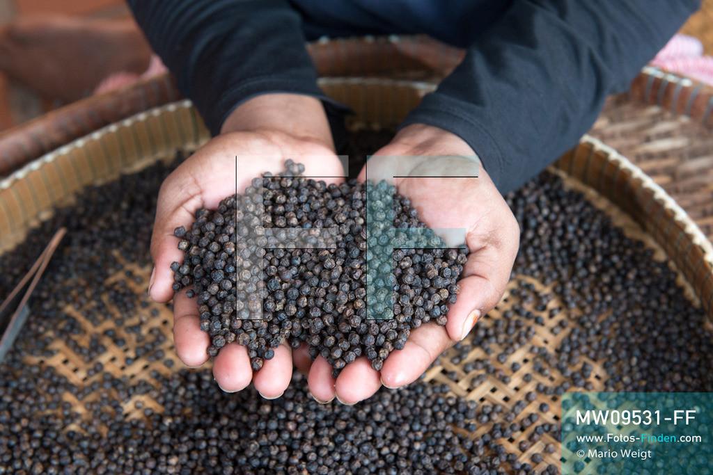 MW09531-FF   Kambodscha   Kampot   Reportage: Pfeffer aus Kampot   Mitarbeiterin von Sothy's Pepper Farm nahe der Ortschaft Kep sortiert schwarze Pfefferkörner. In der Umgebung von Kampot und Kep gibt es zahlreiche Pfefferplantagen.   ** Feindaten bitte anfragen bei Mario Weigt Photography, info@asia-stories.com **