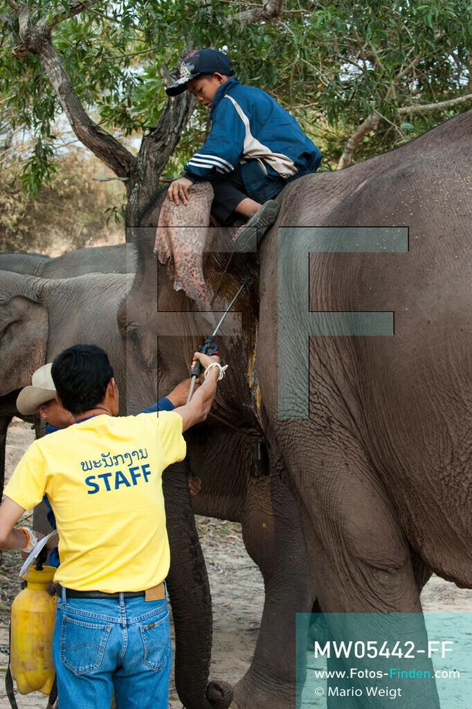 MW05442-FF | Laos | Provinz Sayaboury | Vieng Keo | Reportage: Pey Wan im Elefantendorf | Ein Tierarzt behandelt den Elefant Boun Van. Der achtjährige Pey Wan lebt im Elefantendorf Vieng Keo im Nordwesten von Laos. Im Dorf wohnen ca. 500 Leute mit 17 Arbeitselefanten. Sein Vater Hom Peng hat einen 31 Jahre alten Elefantenbullen namens Boun Van, mit dem er im Holzfällercamp im Dschungel arbeitet. Zum Elefantenfest schmückt Pey Wan den Jumbo und darf mit ihm an der Prozession durchs Dorf teilnehmen. Pey Wan möchte, wie sein Vater, später auch Elefantenführer werden.   ** Feindaten bitte anfragen bei Mario Weigt Photography, info@asia-stories.com **