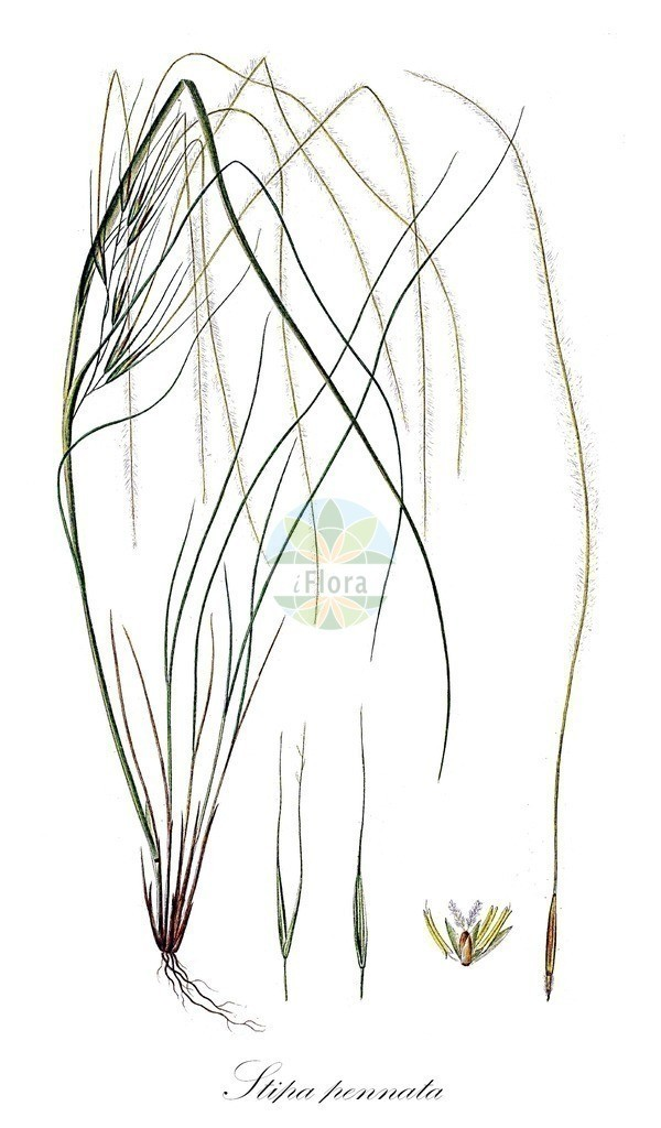 Historical drawing of Stipa pennata (Feathergrass)   Historical drawing of Stipa pennata (Feathergrass) showing leaf, flower, fruit, seed