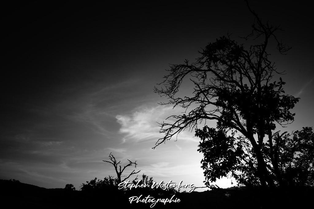 Knorrige Bäume SWHC   SW Hochkontrastaufnahme knorriger Bäume im Sonnenuntergang