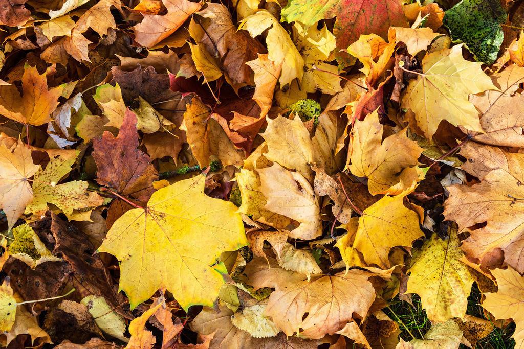 Blick auf herbstlich gefärbte Blätter in der Hansestadt Rostock | Blick auf herbstlich gefärbte Blätter in der Hansestadt Rostock.