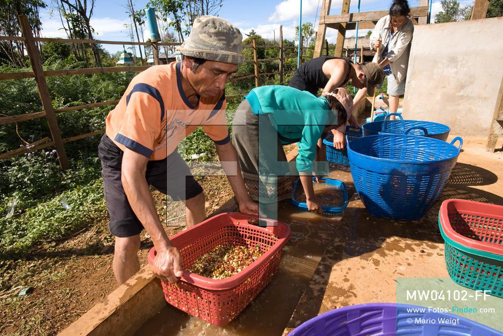 MW04102-FF   Laos   Paksong   Reportage: Kaffeeproduktion in Laos   Mitarbeiter waschen die Kaffeebohnen mehrmals. In den Plantagen auf dem Bolaven-Plateau werden die Kaffeesorten Robusta und Arabica angebaut.  ** Feindaten bitte anfragen bei Mario Weigt Photography, info@asia-stories.com **