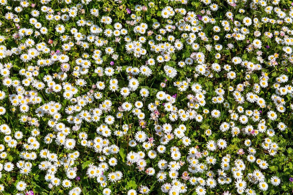 JT-160628-139   Gänseblümchen, auf einer Wiese, Bellis perennis,