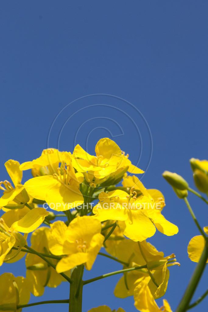 120407-151820 | Rapsblüten im Frühling - AGRARMOTIVE