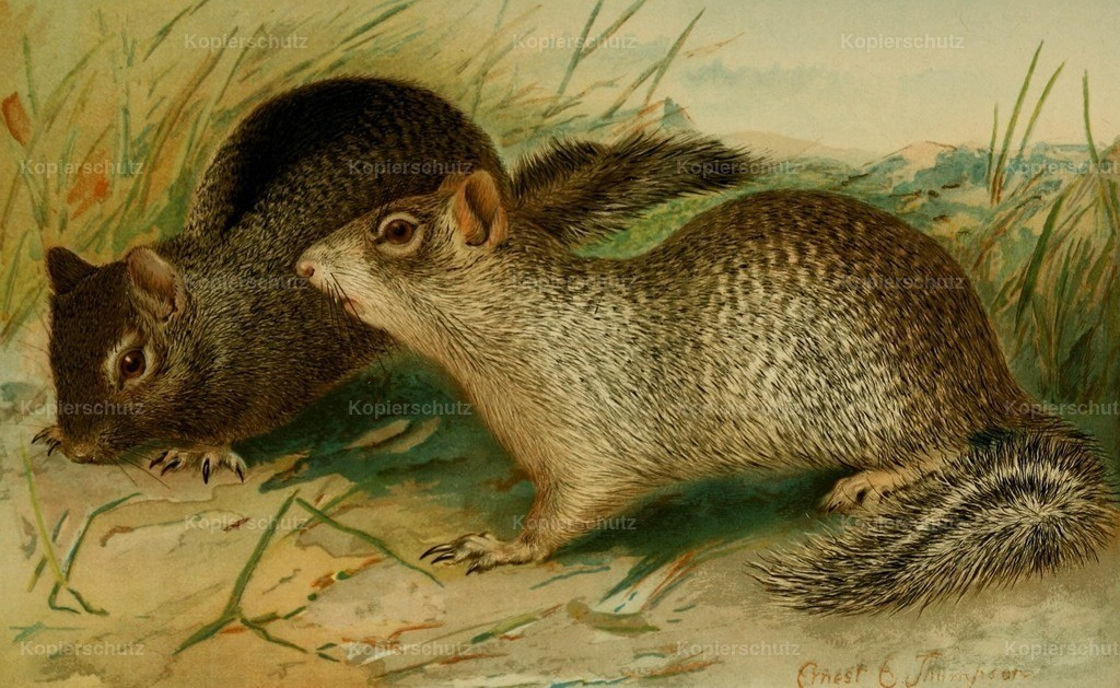 Thompson_ E.E. (1860-1946) - North American Fauna 1938 - Ground _ Rock Squirrels