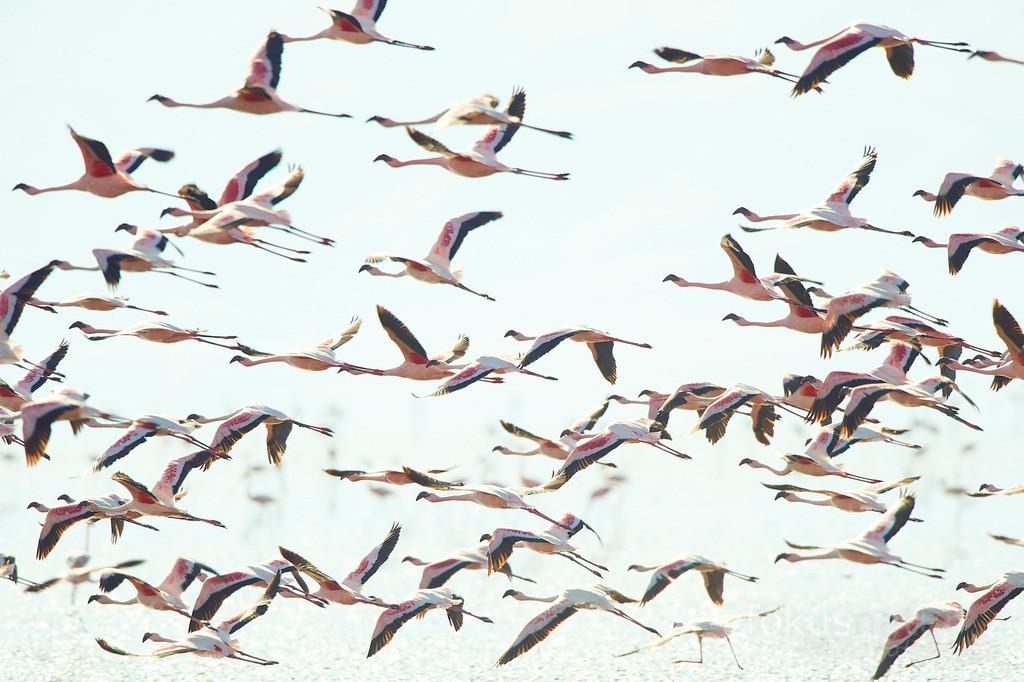 Fliegende Flamingos | Rosa Zwergflamingos im Flug.