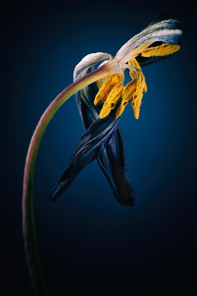 Tulpenskulptur | Skulptur einer verwelkten Tulpe vor blauem Hintergrund.