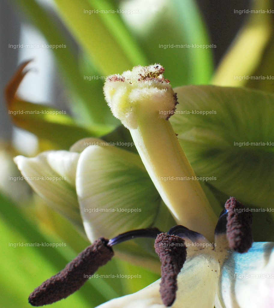 DSC_7601 | Tulpe