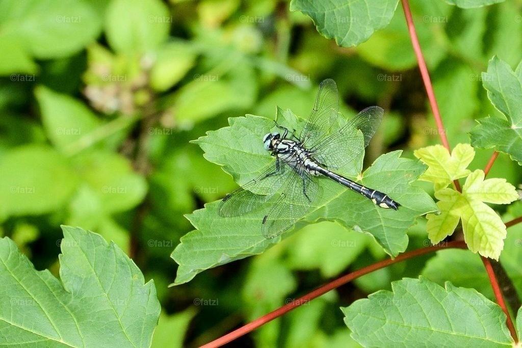 Libelle-15_001_1aus
