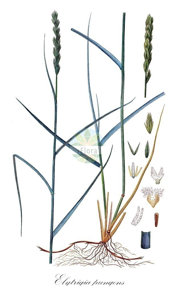 Historical drawing of Elytrigia pungens | Historical drawing of Elytrigia pungens showing leaf, flower, fruit, seed