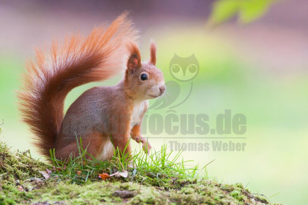20081020155327 | Das Eurasische Eichhörnchen, häufig nur als Eichhörnchen bekannt, ist ein Nagetier aus der Familie der Hörnchen.