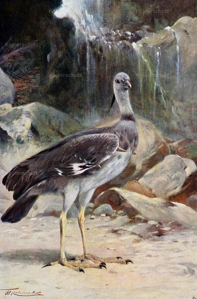 Kuhnert_ F.W. (1865-1926) - Wild Life of the World 1916 - Crested Screamer