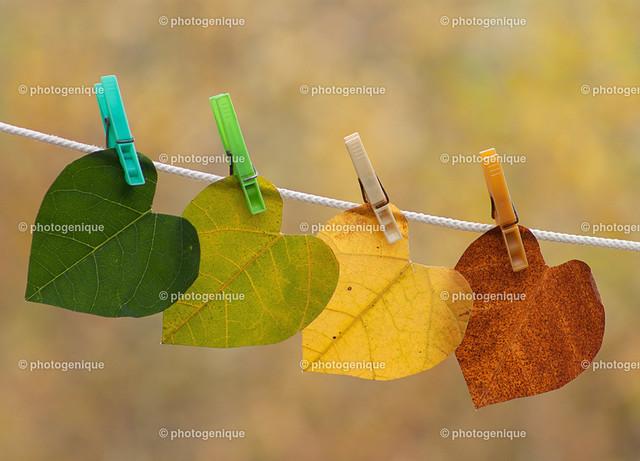 Der Herbst malt die Blätter an | vier herbst-farbene Blätter hängen auf der Wäsche-Leine mit bunten Klammern vor einem gelben Hintergrund bei Tageslicht
