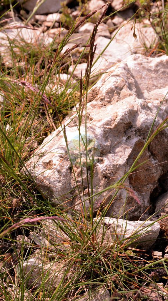 Festuca quadriflora (Niedriger Schwingel - Low Fescue) | Foto von Festuca quadriflora (Niedriger Schwingel - Low Fescue). Das Foto wurde in Muenchen, Bayern, Deutschland aufgenommen. ---- Photo of Festuca quadriflora (Niedriger Schwingel - Low Fescue).The picture was taken in Munich, Bavaria, Germany.