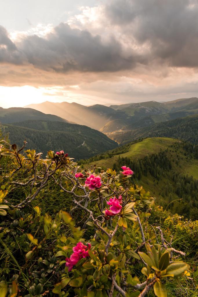 Almrausch in den Nockbergen | Sonnenuntergang in den Nockbergen