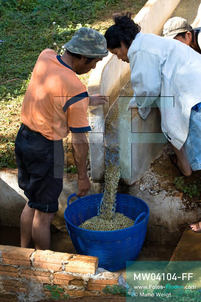 MW04104-FF | Laos | Paksong | Reportage: Kaffeeproduktion in Laos | Die Kaffeebohnen werden mehrmals gewaschen. In den Plantagen auf dem Bolaven-Plateau gedeihen Sträucher der Kaffeesorten Robusta und Arabica.  ** Feindaten bitte anfragen bei Mario Weigt Photography, info@asia-stories.com **