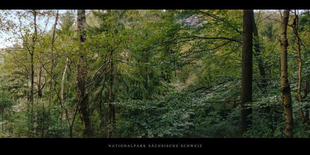 Sächsische Schweiz Elbsandsteingebirge   Mischwald mit Birken, Buchen und Fichten im Nationalpark Sächsische Schweiz im Elbsandsteingebirge