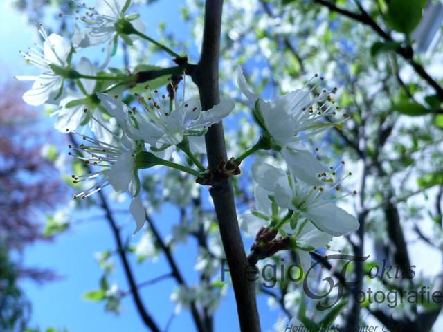 Kirschblüte in Sorsum | Kirschblüten