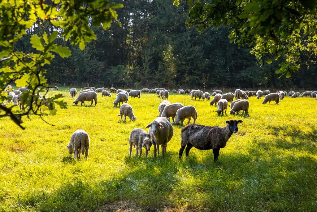 JT-171112-127   Dingder Heider im Naturpark Hohe Mark Westmünsterland, Schafherde auf einer Weide,