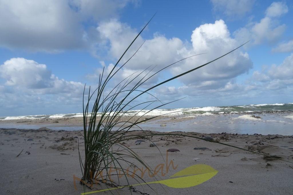 Grasbüschel auf Reisen | Ostseezauber mit Grasbüschel. Reisen Sie mit ihm... hin zu Wind, Geruch nach Salz und Algen und zum rauschenden Meer.