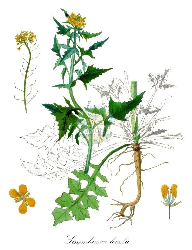 Historical drawing of Sisymbrium loeselii (False London-rocket) | Historical drawing of Sisymbrium loeselii (False London-rocket) showing leaf, flower, fruit, seed